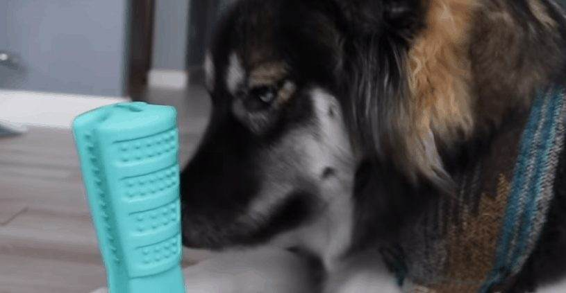 Dog chewing toothbrush and toothpaste