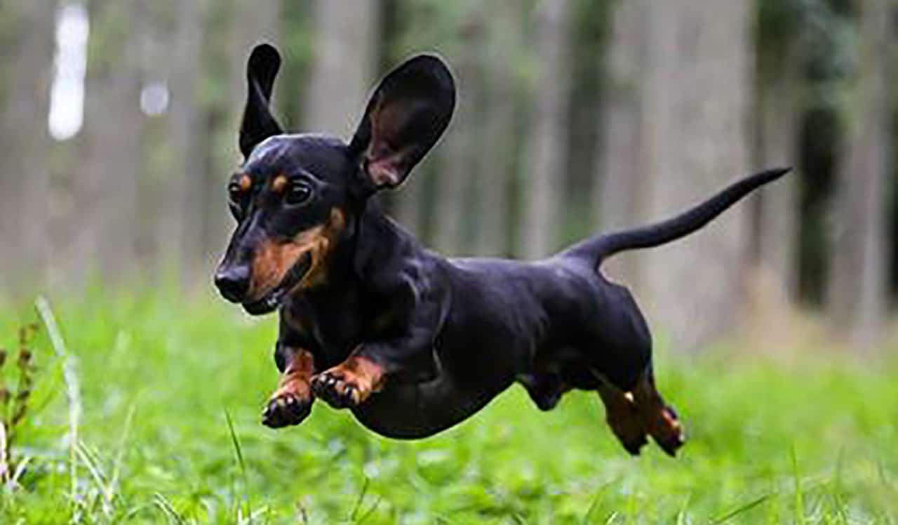 Dog Breeds That Live The Longest
