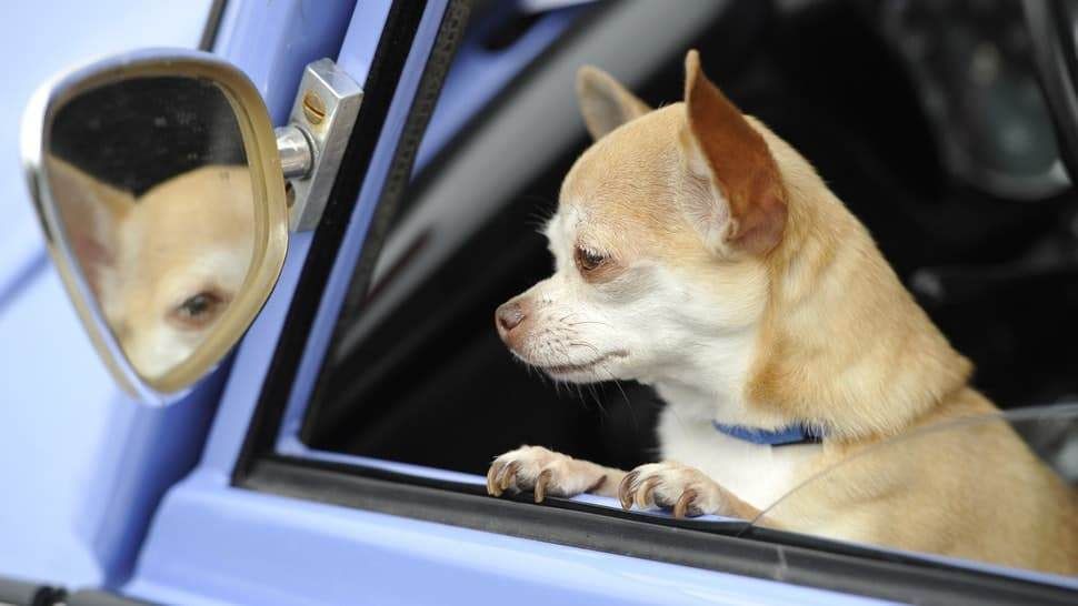 Driving With Your Canine