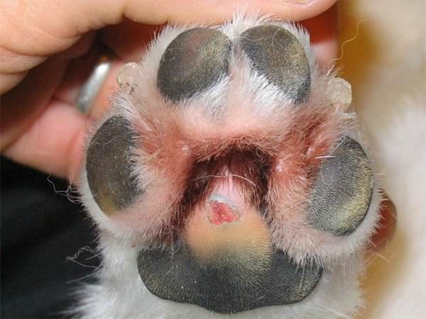 Frostbite in dog paws