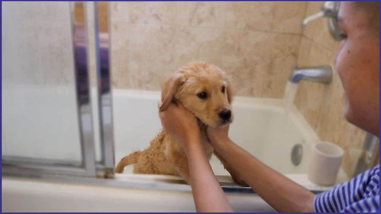 How Often Should Retrievers Be Bathed