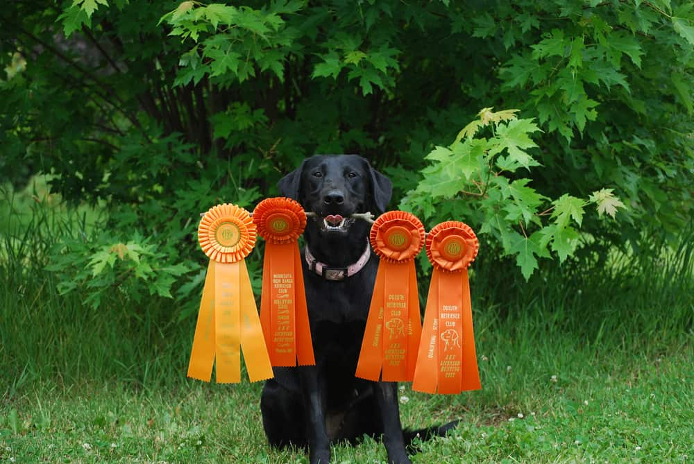 How to Become AKC Hunt Test Judge