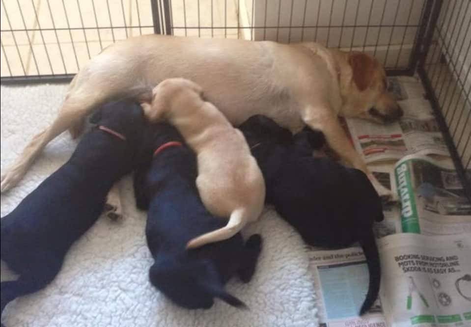 Labrador Puppies Weaned