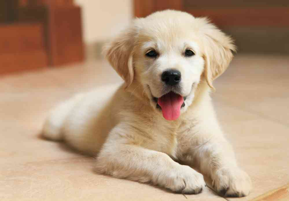 Labrador Retriever Cost